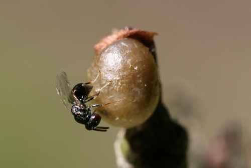 A female parasitic wasp (Entedon cionobius) squeezes some of her eggs into a Cionus sp. pupa