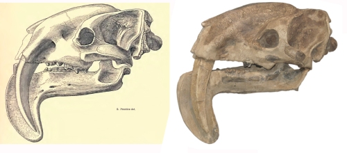 On the left is the illustration of the pouch-knife skull following the original discovery and on the right is the cast of the fossil skull on which the illustration is based (Field Museum)