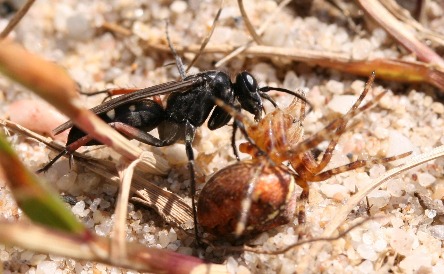 Pompilid (Episyron sp.) dragging its prey (Araneus diadematus) to meet its doom