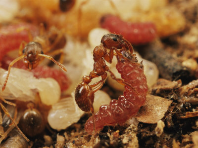 Maculinea alcon larva and ant