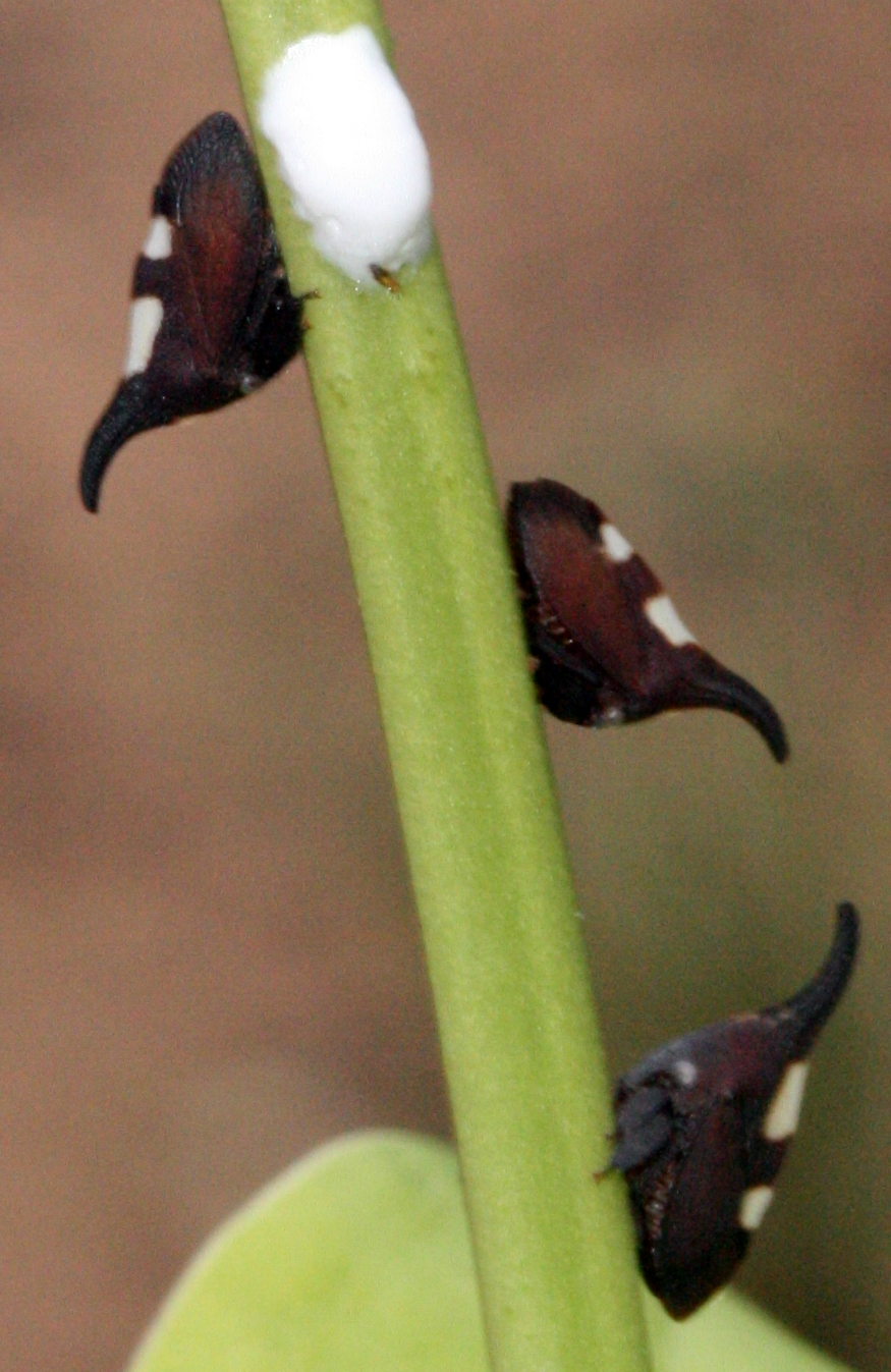 Brazilian thorn-mimicking membracid