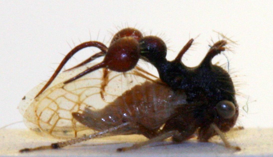 Trinidadian membracid - spine mimic?