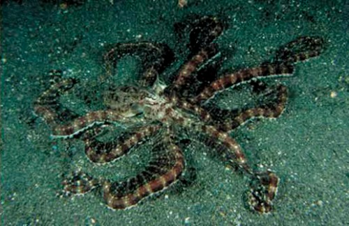 Mimic octopus (Thaumoctopus mimicus) - normal foraging pattern