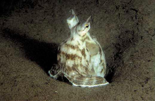 Mimic octopus (Thaumoctopus mimicus) - sentinel posture