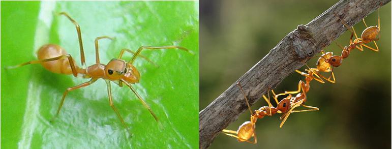 Myrmarachne plataleoides and Oecophylla longinoda