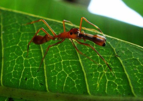 Myrmarachne plataleoides -