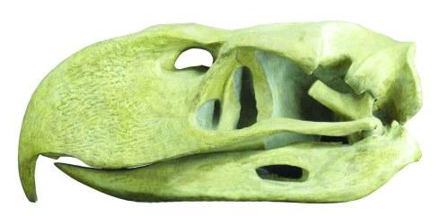 Titanis spp. skull