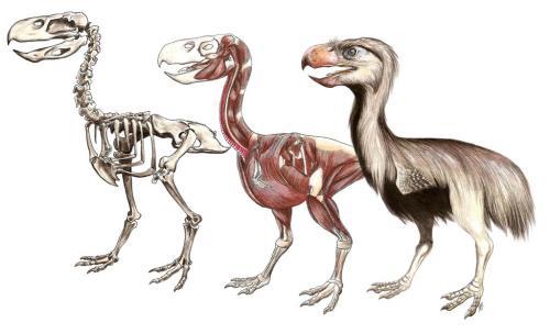Terror bird (Paraphysornis brasiliensis) reconstruction