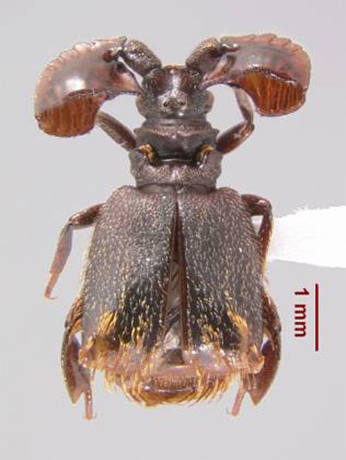 Paussus sp. Ghana