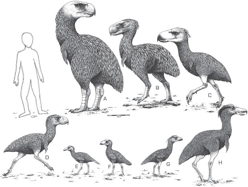 Terror birds - Phorusrhacidae