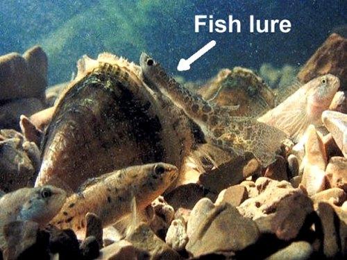 Lampsilis reeveiana - pocketbook mussel