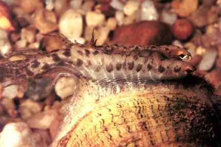 Lampsilis fasciola pocketbook mussel