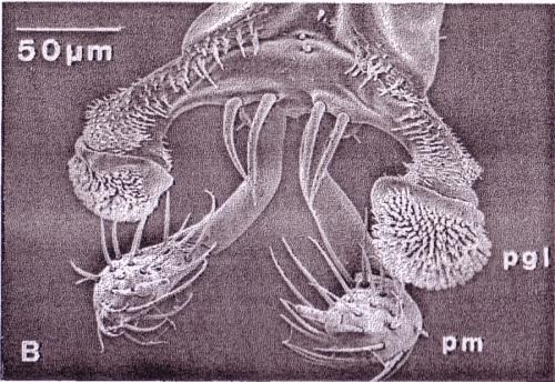 Stenus comma labium tip