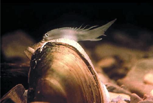 Lampsilis ovata - pocketbook mussel