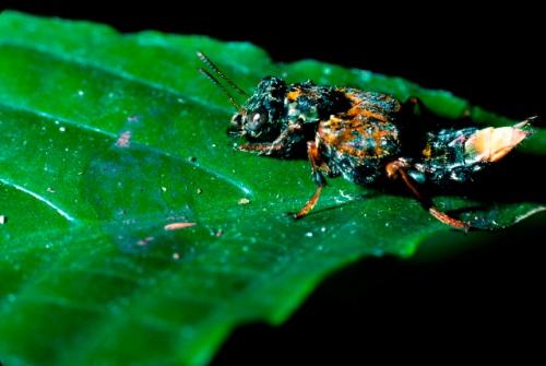 Leisotrophus versicolor