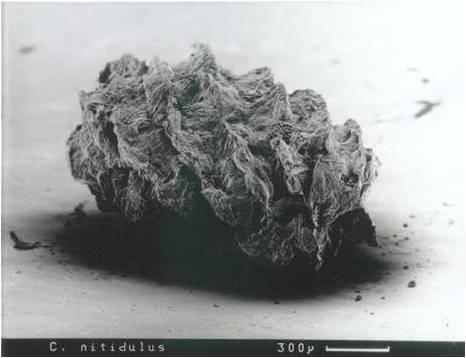 Cryptocephalus nitidulus egg case