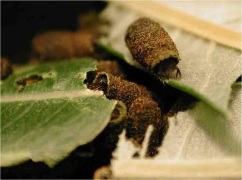Cryptocephalus decemmaculatus larvae feeding