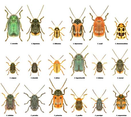 The 18 Cryptocephalus species found in the UK