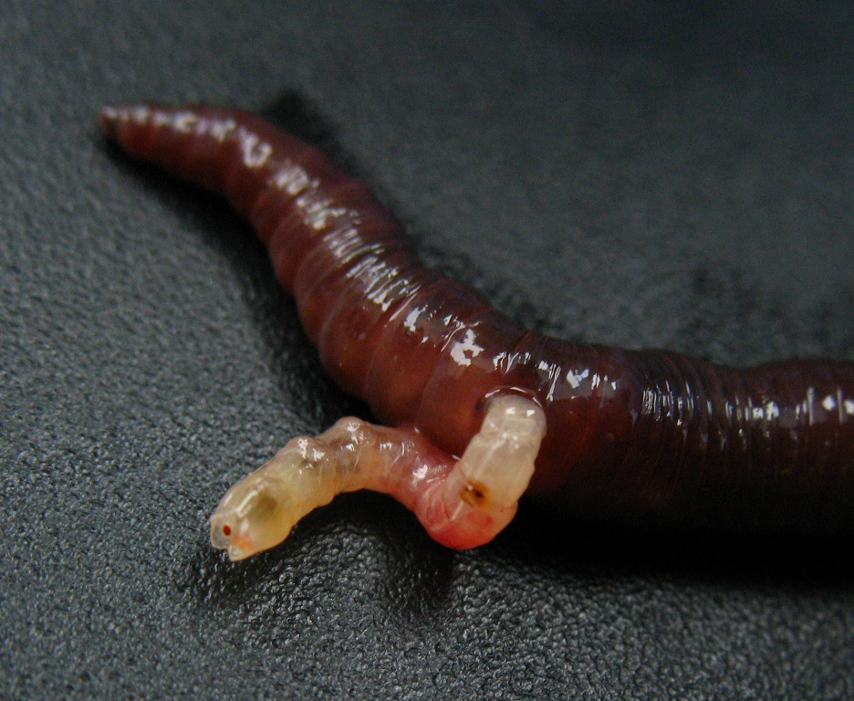 Earthworm reproduction asexually